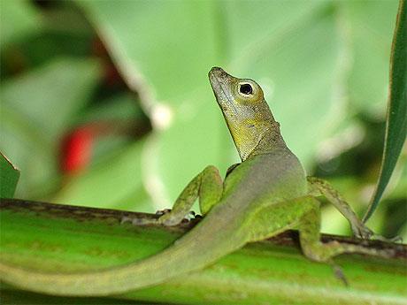 Zanoli reptiles jardin botanique de deshaies - Jardin botanique guadeloupe basse terre ...