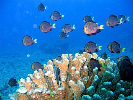 corail-polynesien