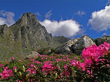 Rhododendron dans les montagnes de fagaras iulianpanescu 3 photos