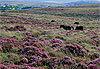 Dartmoor National Park - Angleterre