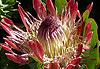 Jardins de Kirstenbosch - Afrique du Sud