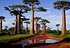 Allée des Baobabs - Madagascar
