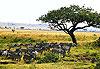 Réserve nationale de Massaï-Mara - Kenya