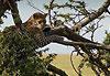 Parc national de Ruaha - Tanzanie