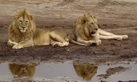 Lion 10 dans LION pt5057