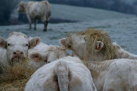 Vache - taureau et la Terre dans VACHE - BOEUF.... pt12013