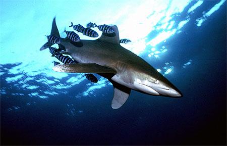 Les requins menacés de disparition