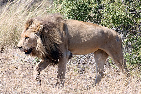 Lion 7 dans LION pt37837