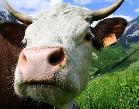 Message du peuple des Vaches 1 dans VACHE - BOEUF.... pt62494