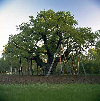 Major Oak © Nottinghamshire County Council