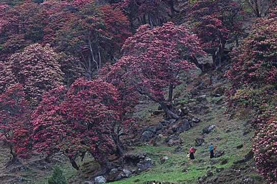 Forêt de rhododendrons à Olangchunggola © Mario Colonel