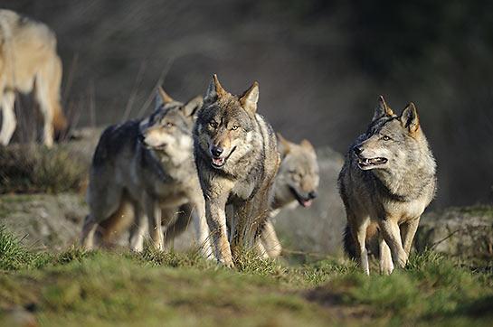 © Les Loups de Chabrières / S. Deschamps