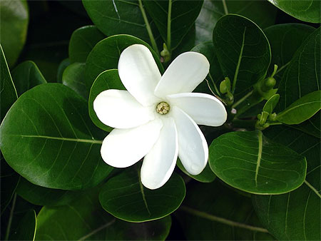 http://www.routard.com/images_contenu/themes/fleurs/fleur_de_tiare_19475.jpg